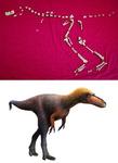 티라노사우루스 '사촌 공룡' 화석 발견