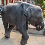 현실판 덤보의 비극…태국 강제공연 아기코끼리 숨져