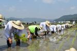 기장에서 쌀(나락) 전통 농경문화 복원행사 개최