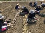 와이즈유 학생들, 마늘 수확 일손 돕기 나서