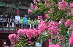 함양 학사루 배롱나무 붉은 꽃 활짝
