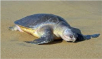 해수부, 멸종위기종 올리브바다거북의 국내 서식 첫 공식확인