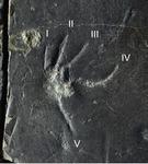 도마뱀 발자국 화석 논문 국제학술지 게재