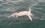 부산 앞바다서 '청새리상어' 사체 발견