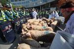 잔반 사료 금지 반발, 돼지 몰고 온 농민