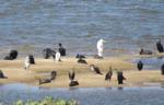 창녕함안보서 멸종 위기종 철새 관찰