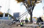 BRT에 밀려나는 시청 앞 70살 느티나무 어찌하나