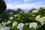 알록달록 수국에 물들었네, 6월 '꽃섬'의 로맨스