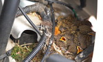 [포토뉴스] 차 안에 둥지 튼 딱새