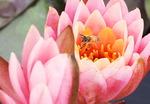 [포토뉴스] 수련 향기에 취한 꿀벌