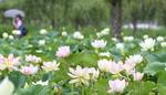 더위 잊게 해주는 연꽃 만개