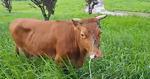 합천 소, 80㎞ 떠내려가 밀양서 멀쩡한 채 발견