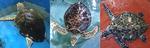 멸종위기 바다거북 18마리, 제주바다 품으로