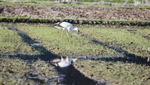 멸종위기종 황새 2마리, 김해 화포천습지 찾아와