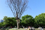 BRT공사로 옮겨심은 70살 느티나무, 1년6개월 만에 끝내 고사…10일 제거