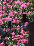 쨍쨍한 햇볕 속 배롱나무꽃 활짝