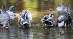 [포토뉴스] 비둘기의 피서