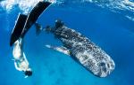 박수현의 오션월드 <12>지구상에서 가장 큰 어류 고래상어