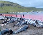 전통 때문에…돌고래 1428마리 끔찍한 떼죽음